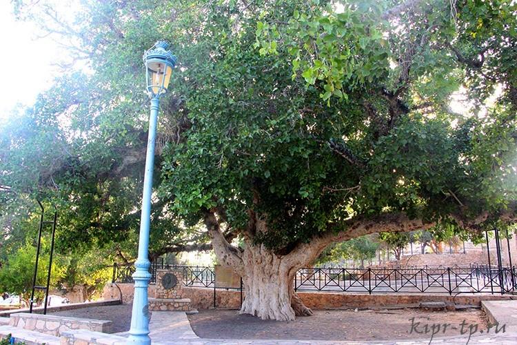 Старейшее дерево Айя-Напы
